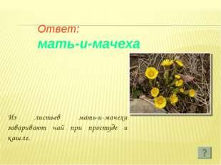 Ответ: мать-и-мачеха Из листьев мать-и-мачехи заваривают чай при простуде и