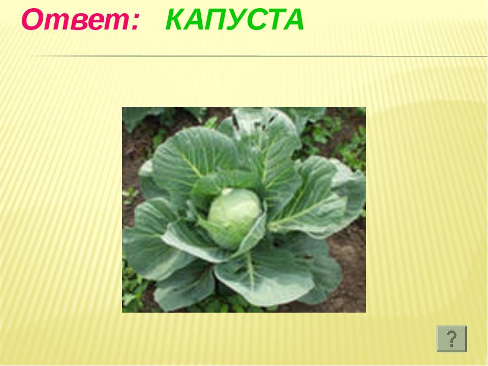 Ответ: КАПУСТА