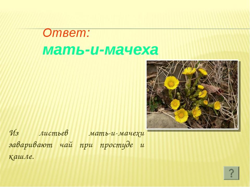 Ответ: мать-и-мачеха Из листьев мать-и-мачехи заваривают чай при простуде и...