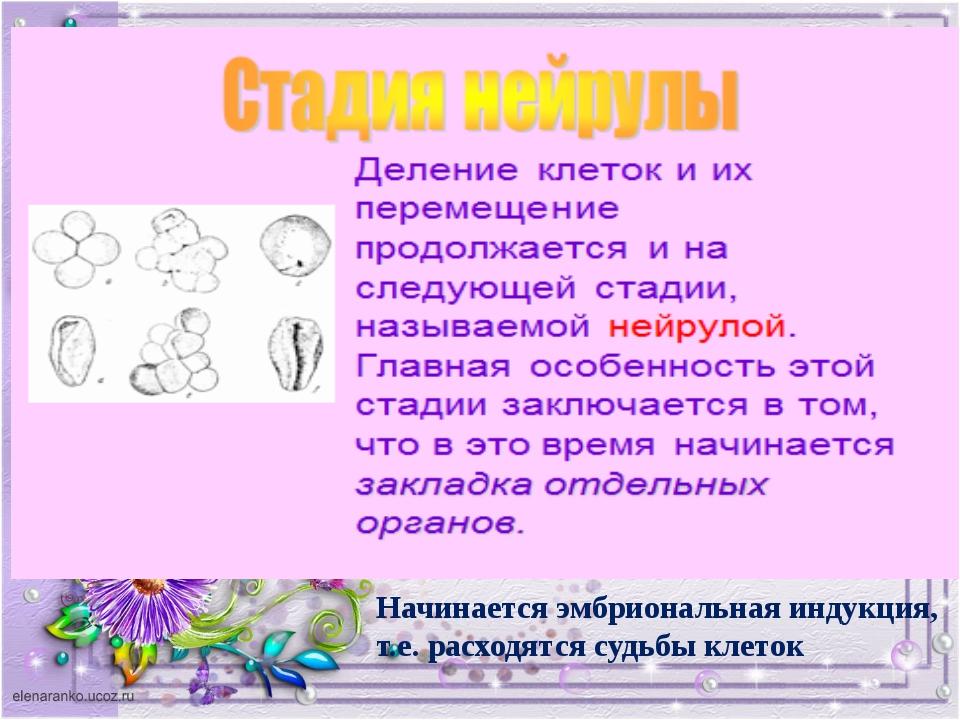 Начинается эмбриональная индукция, т.е. расходятся судьбы клеток