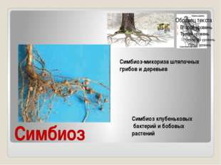 Симбиоз Симбиоз-микориза шляпочных грибов и деревьев Симбиоз клубеньковых бак