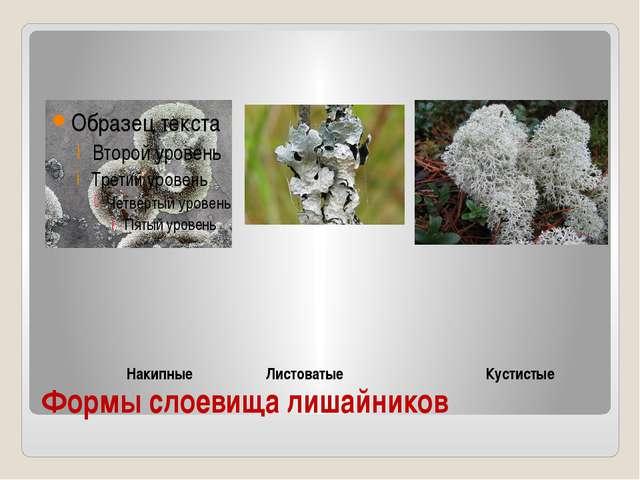 Формы слоевища лишайников Накипные Листоватые Кустистые
