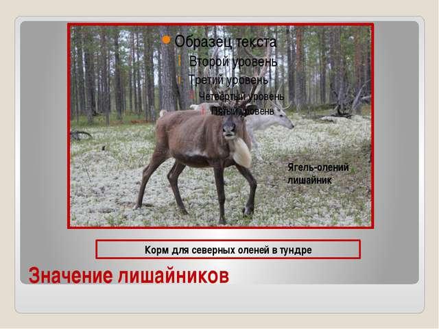 Значение лишайников Корм для северных оленей в тундре Ягель-олений лишайник