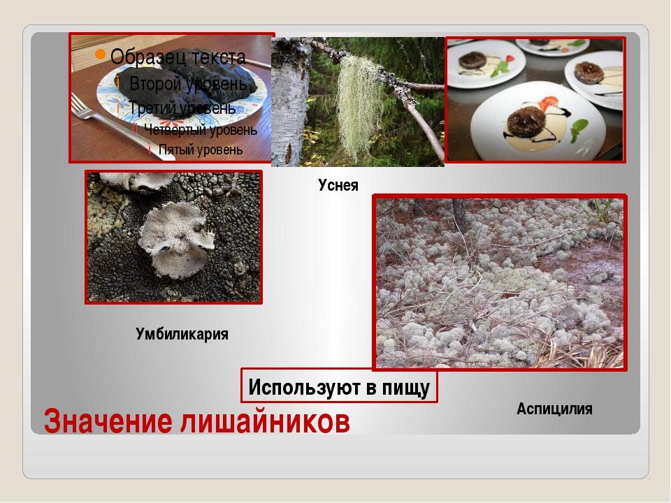 Значение лишайников Используют в пищу Умбиликария Аспицилия Уснея