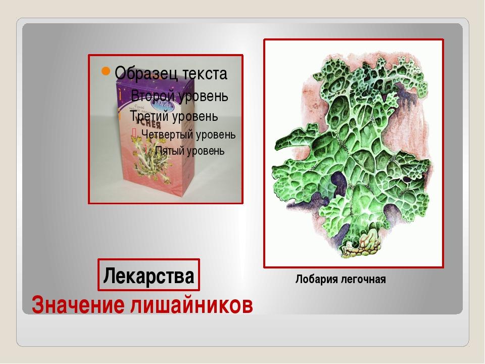 Значение лишайников Лобария легочная Лекарства