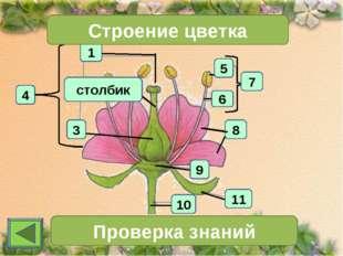 1 4 3 Строение цветка 7 Проверка знаний 11 10 6 5 8 9 столбик