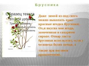 Б р у с н и к а Даже зимой из-под снега можно выкопать ярко-красные ягодки бр
