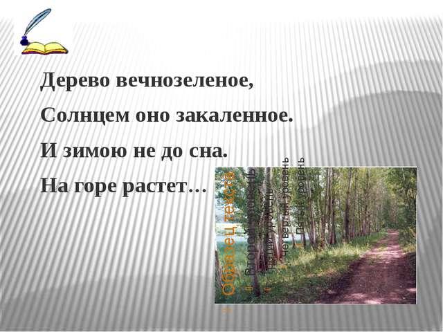 Дерево вечнозеленое, Солнцем оно закаленное. И зимою не до сна. На горе раст...