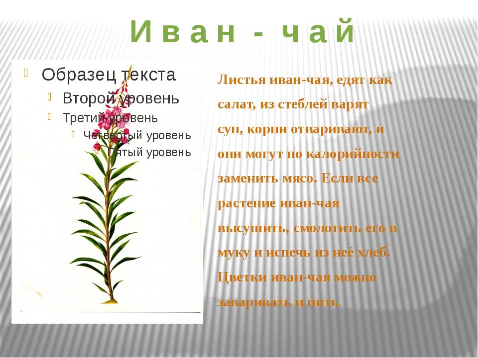 И в а н - ч а й Листья иван-чая, едят как салат, из стеблей варят суп, корни...