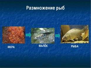 Размножение рыб ИКРА МАЛЁК РЫБА