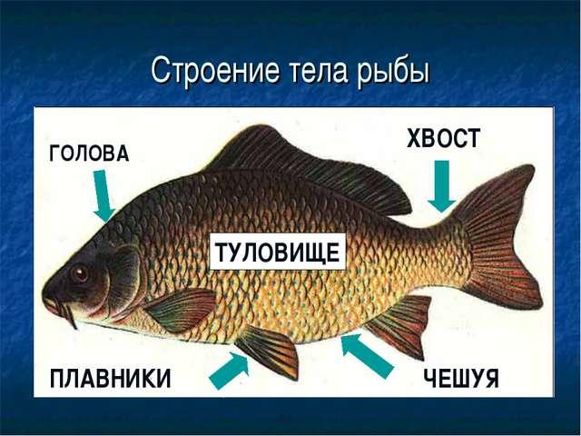 Строение тела рыбы ГОЛОВА ПЛАВНИКИ ХВОСТ ЧЕШУЯ ТУЛОВИЩЕ