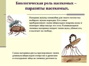 Биологическая роль насекомых – паразиты насекомых. Наездник жукоед томикобия