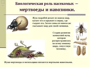 Биологическая роль насекомых – мертвоеды и навозники. Жуки-мертвоеды и могиль