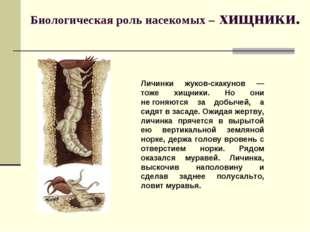 Биологическая роль насекомых – хищники. Личинки жуков-скакунов — тоже хищники