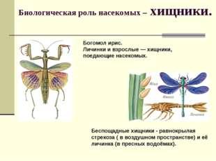 Биологическая роль насекомых – хищники. Богомол ирис. Личинки и взрослые— хи