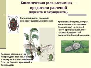 Биологическая роль насекомых – вредители растений (паразиты и полупаразиты).