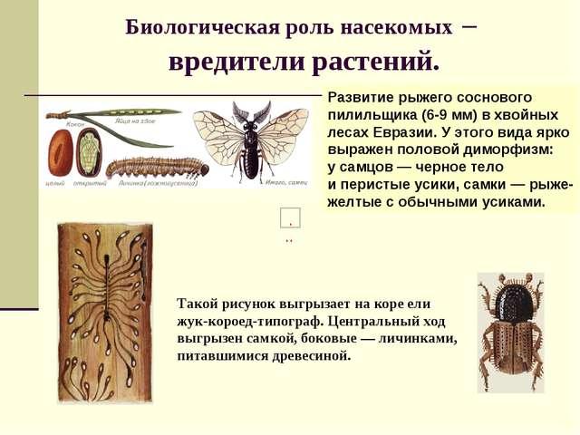 Биологическая роль насекомых – вредители растений. Развитие рыжего соснового...