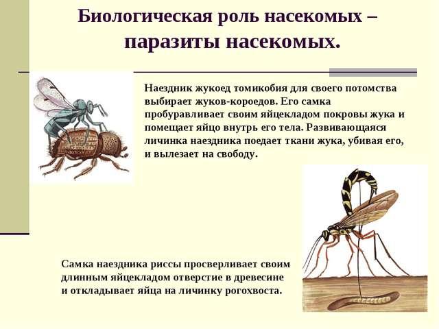 Биологическая роль насекомых – паразиты насекомых. Наездник жукоед томикобия...