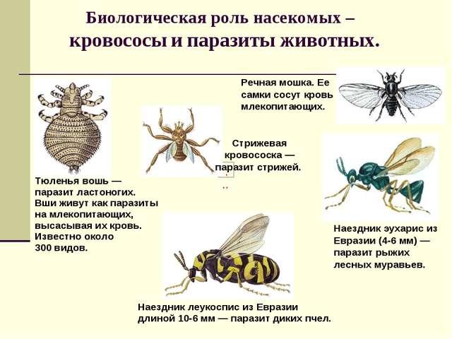 Биологическая роль насекомых – кровососы и паразиты животных. Речная мошка. Е...
