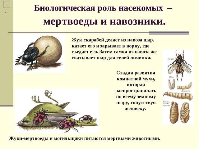 Биологическая роль насекомых – мертвоеды и навозники. Жуки-мертвоеды и могиль...