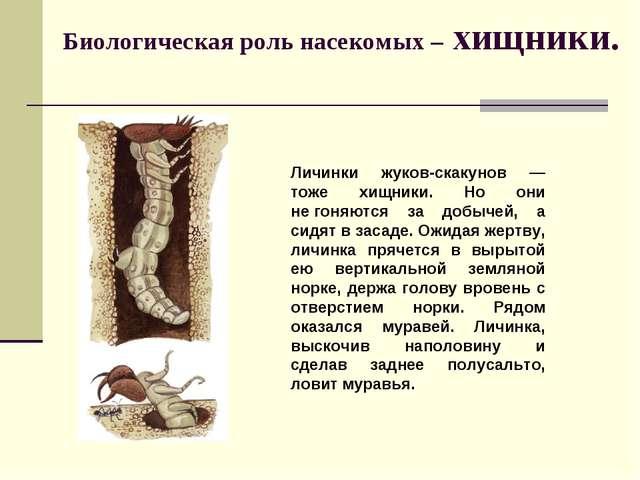 Биологическая роль насекомых – хищники. Личинки жуков-скакунов — тоже хищники...
