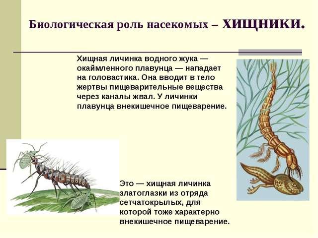 Биологическая роль насекомых – хищники. Хищная личинка водного жука — окаймле...