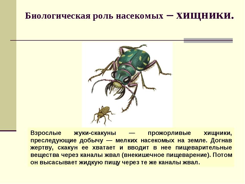 Биологическая роль насекомых – хищники. Взрослые жуки-скакуны — прожорливые х...