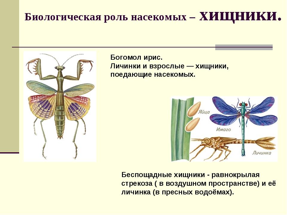 Биологическая роль насекомых – хищники. Богомол ирис. Личинки и взрослые— хи...