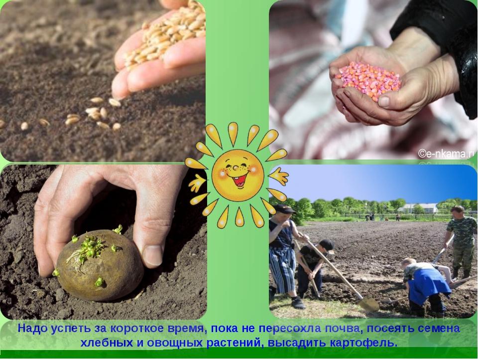 Надо успеть за короткое время, пока не пересохла почва, посеять семена хлебны...