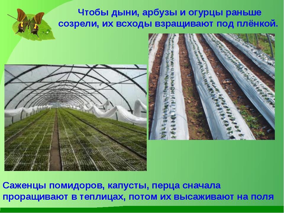 Чтобы дыни, арбузы и огурцы раньше созрели, их всходы взращивают под плёнкой....