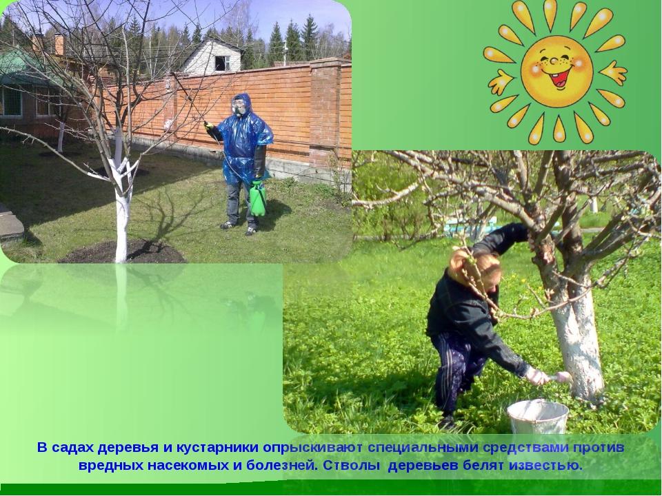 В садах деревья и кустарники опрыскивают специальными средствами против вредн...