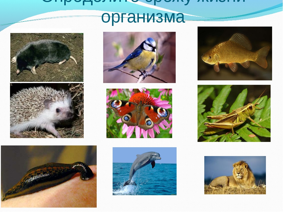 Определите срежу жизни организма