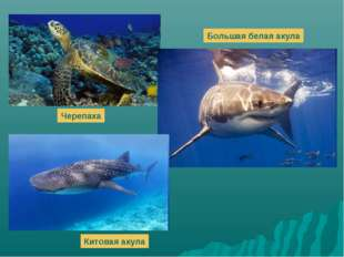 Большая белая акула Черепаха Китовая акула