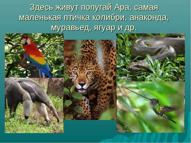 Здесь живут попугай Ара, самая маленькая птичка колибри, анаконда, муравьед,...