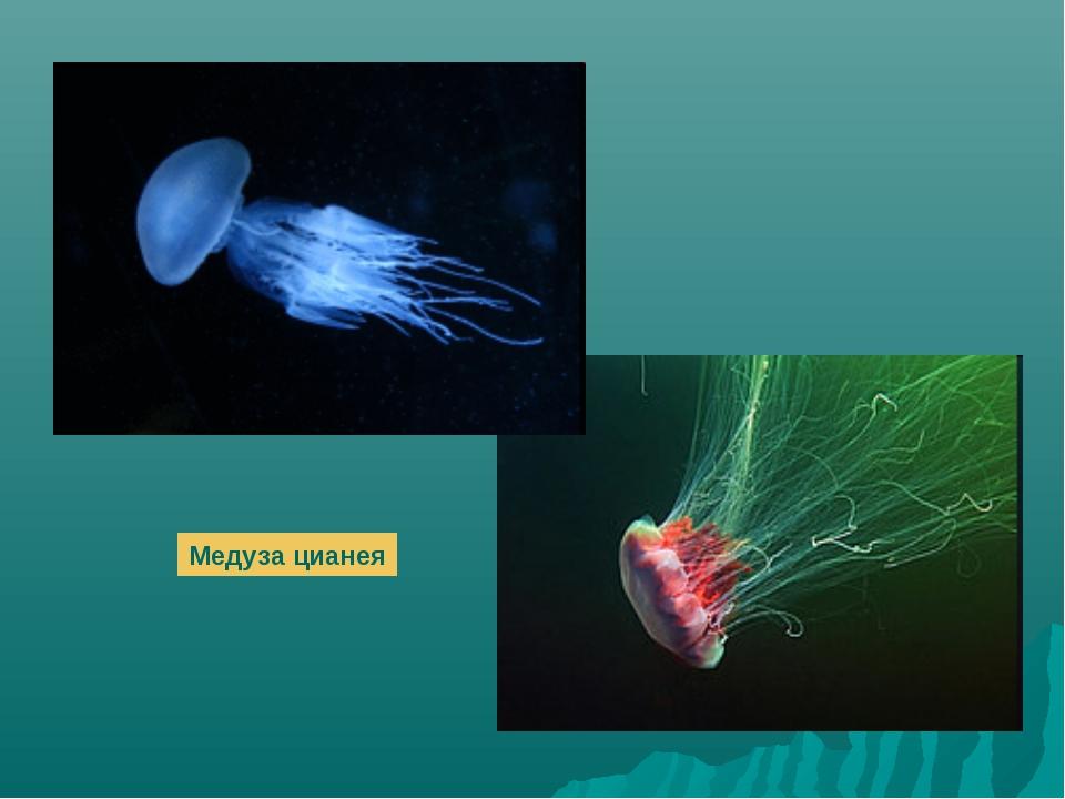 Медуза цианея
