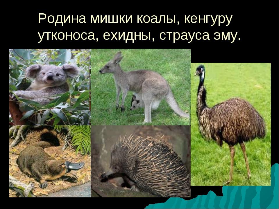 Родина мишки коалы, кенгуру утконоса, ехидны, страуса эму.