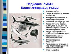Надкласс РЫБЫ Класс ХРЯЩЕВЫЕ РЫБЫ Морские рыбы Скелет хрящевой в течение всей