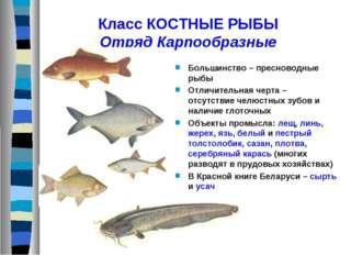 Класс КОСТНЫЕ РЫБЫ Отряд Карпообразные Большинство – пресноводные рыбы Отличи