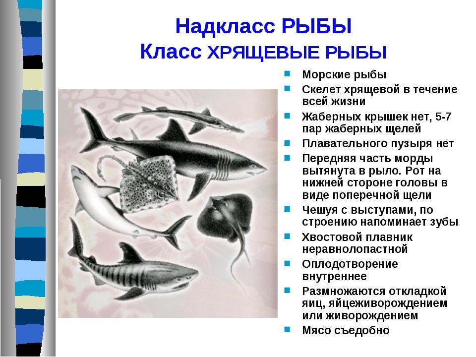 Надкласс РЫБЫ Класс ХРЯЩЕВЫЕ РЫБЫ Морские рыбы Скелет хрящевой в течение всей...