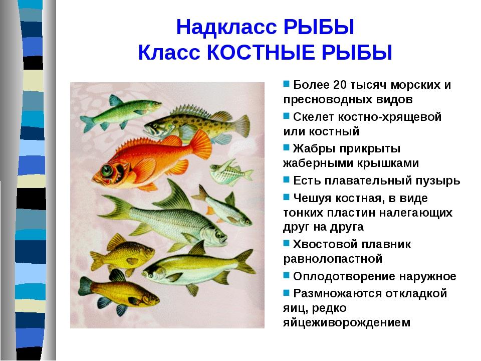 Надкласс РЫБЫ Класс КОСТНЫЕ РЫБЫ Более 20 тысяч морских и пресноводных видов...