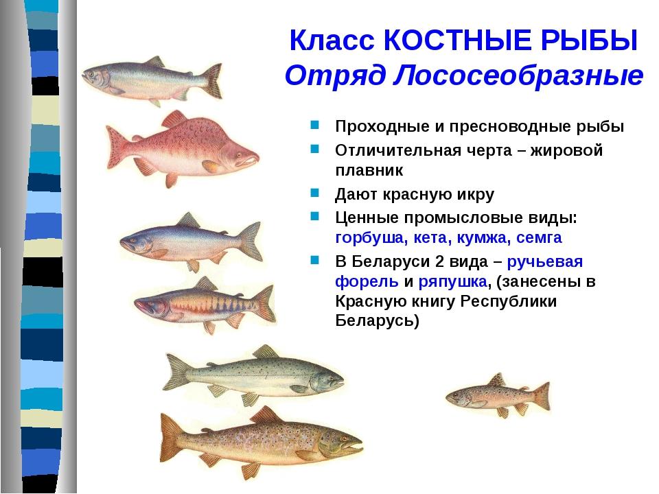 Класс КОСТНЫЕ РЫБЫ Отряд Лососеобразные Проходные и пресноводные рыбы Отличит...
