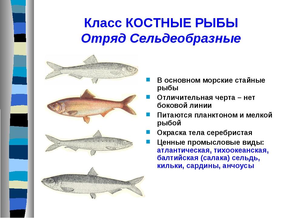 Класс КОСТНЫЕ РЫБЫ Отряд Сельдеобразные В основном морские стайные рыбы Отлич...