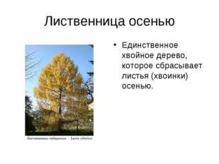 Лиственница осенью Единственное хвойное дерево, которое сбрасывает листья (хв
