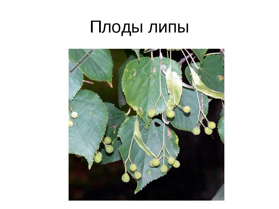 Плоды липы
