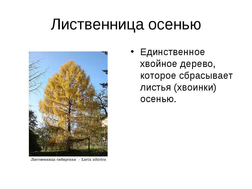Лиственница осенью Единственное хвойное дерево, которое сбрасывает листья (хв...