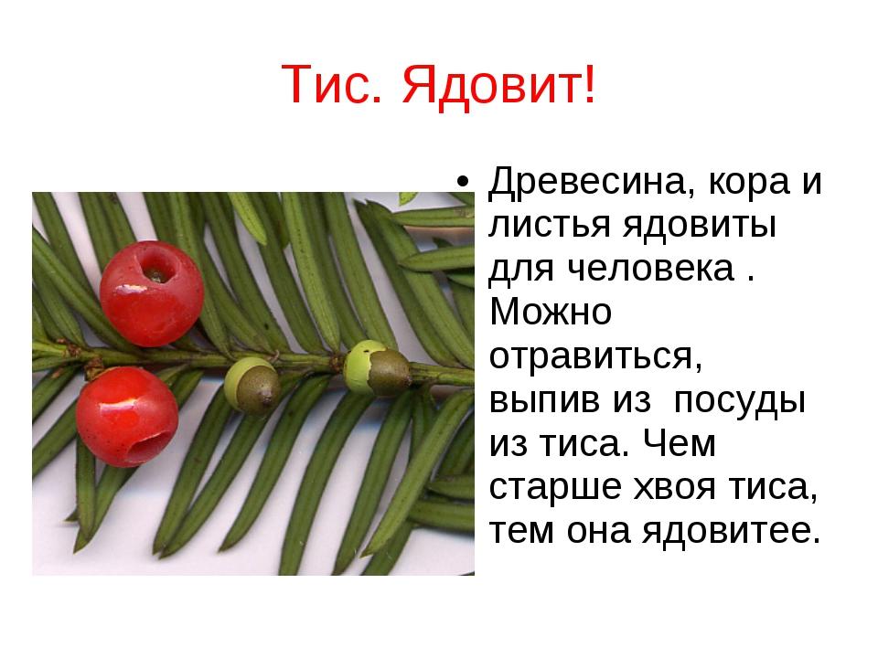 Тис. Ядовит! Древесина, кора и листья ядовиты для человека . Можно отравиться...