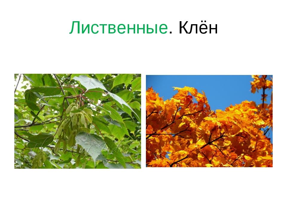 Лиственные. Клён