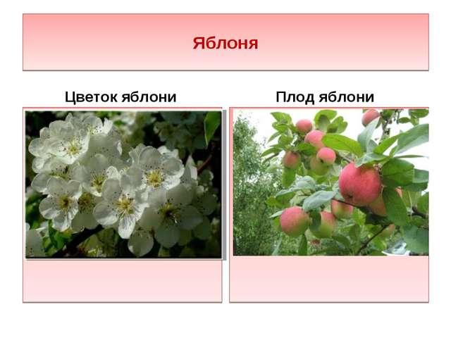 Яблоня Цветок яблони Плод яблони