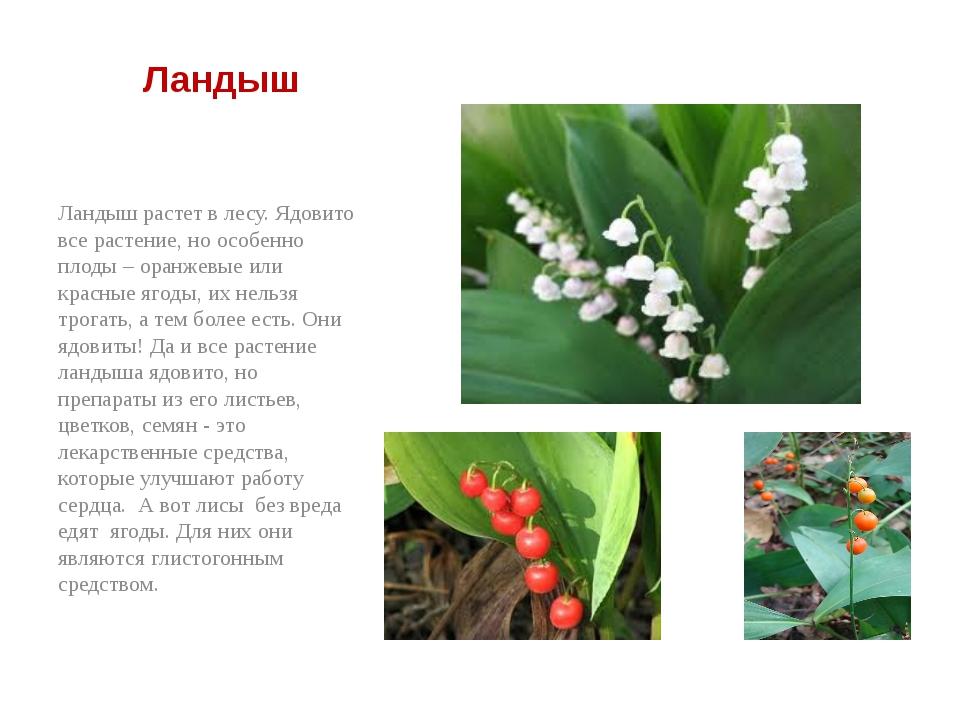 Ландыш Ландыш растет в лесу. Ядовито все растение, но особенно плоды – оранж...