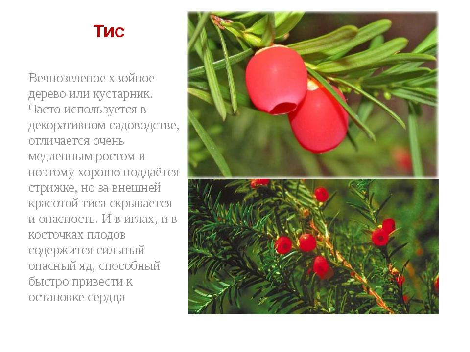 Тис Вечнозеленое хвойное дерево или кустарник. Часто используется в декорати...